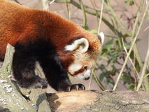 Red panda closeup side portrait Royalty Free Stock Images