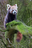 Red Panda Cub In Tree Royalty Free Stock Images
