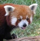 Red Panda Royalty Free Stock Images