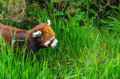 Red Panda. Cute Red Panda walking through tall grass Stock Photo