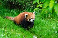 Red Panda. Cute Red Panda walking through tall grass Stock Photography