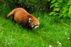 Red Panda. Cute Red Panda walking through tall grass Stock Image