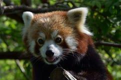 Red Panda. Cute red panda in zoo Stock Photo