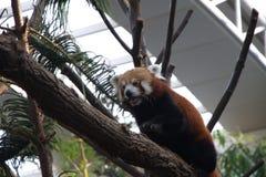 Red panda Royalty Free Stock Image