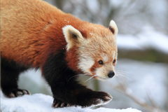 Red panda. The detail of strolling red panda in winter Stock Photos