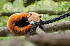 Red Panda dozes. A Red Panda tries to get ot sleep on a tree branch Royalty Free Stock Photography