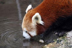 Red panda drinking Royalty Free Stock Photo