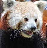 Red Panda at Dublin Zoo Stock Images