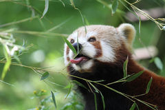 Red panda eating. Red panda up close eating leaves from a twig stock photos