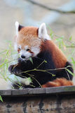 Red Panda Eating Stock Image