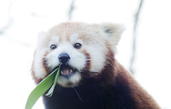 Red panda eating Royalty Free Stock Images