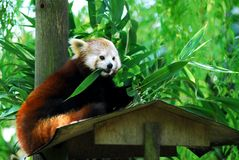 Red panda eating. A bamboo leaf Royalty Free Stock Photos