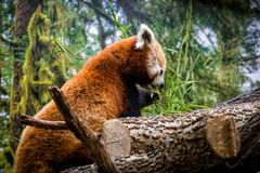 Red panda eating. This is a red panda eating royalty free stock image