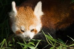 Red panda eating bamboo Stock Photos