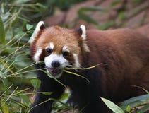 Red Panda Eating Bamboo Stock Images
