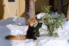 Red Panda. Eating Bamboo at Asahiyama zoo Stock Image