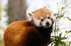 Red Panda Eating Bamboo Stock Images