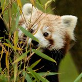Red Panda eating Bamboo Royalty Free Stock Images