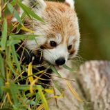 Red Panda eating Bamboo Royalty Free Stock Photo