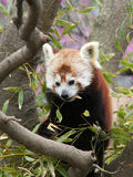 Red Panda eating Bamboo Leaf. On the tree royalty free stock photography