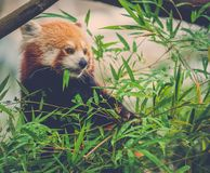 Red panda eating a bamboo tree leaves Royalty Free Stock Photo