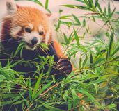 Red panda eating a bamboo tree leaves Stock Photography