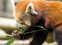 Red panda eating Royalty Free Stock Photography