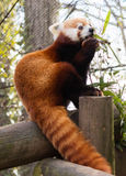 Red Panda Eating Stock Photos