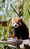 Red panda eating friuits Stock Images