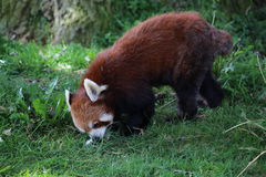 Red Panda. A red panda eating grass Royalty Free Stock Photography