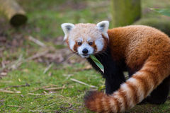 Red Panda Eating Leaf Royalty Free Stock Images
