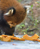The red panda is eating pumpkin! Royalty Free Stock Photos