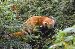 Red Panda eats Stock Photo