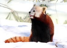 Red Panda enjoying Snow Royalty Free Stock Photos