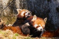 A red panda ensnares a female stock photos