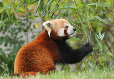 Red Panda with Eucalyptus. Male Red Panda with Eucalyptus branch Stock Photo