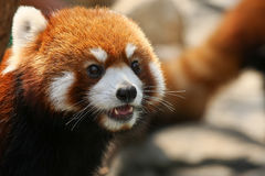 Red panda face closeup Stock Photo