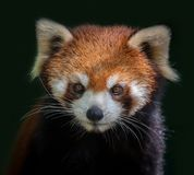 Red panda face. royalty free stock image