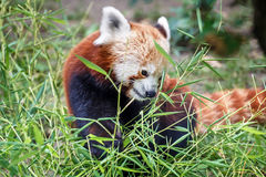 Red panda feeding Royalty Free Stock Photography