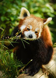 Red Panda Feeding Stock Photos