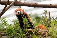 Red Panda Feeding Stock Image