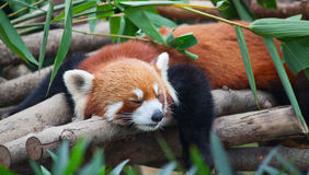 Red panda (firefox) Royalty Free Stock Images