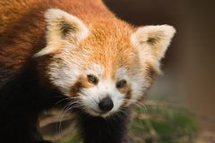 Red panda or firefox Stock Images