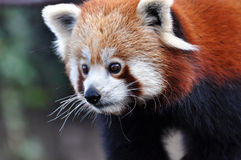 The Red Panda Stock Photography