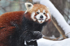 The Red Panda Royalty Free Stock Photo