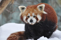 The Red Panda Royalty Free Stock Photography