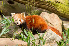 The Red Panda, Firefox or Lesser Panda Stock Images