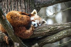 Red Panda, Firefox or Lesser Panda stock photos