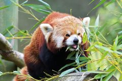 Red Panda, Firefox or Lesser Panda taxonomic name: Ailurus fulgens, `shining cat` Royalty Free Stock Photography