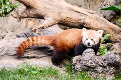 Red Panda Firefox Mammal Animal Stock Photography